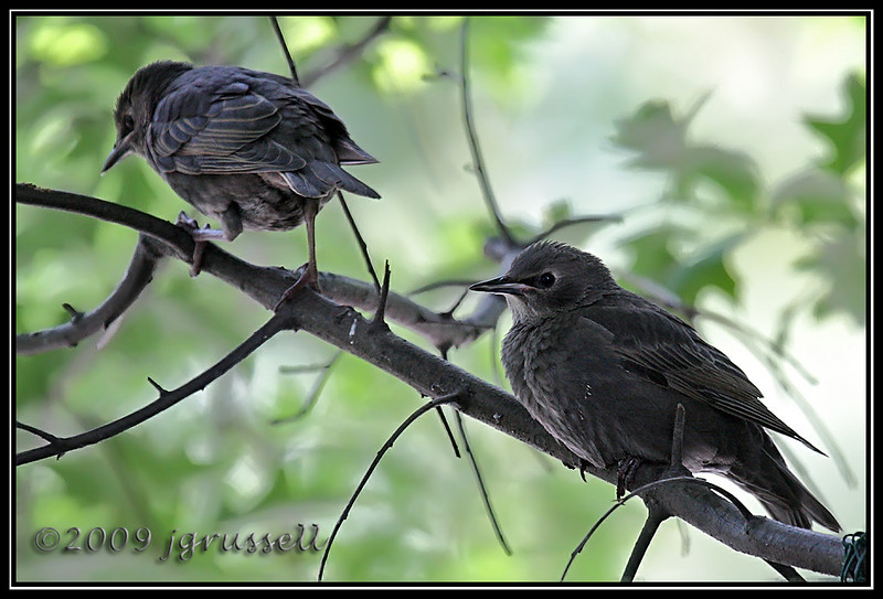 Juvenile starlings