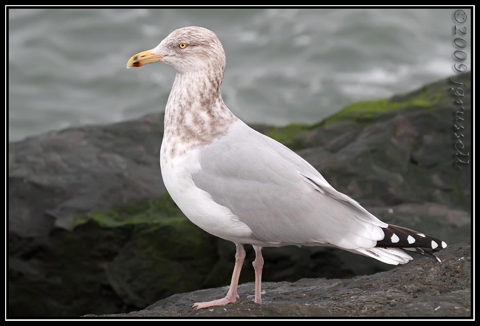 Gull<br /> Barnegat Light