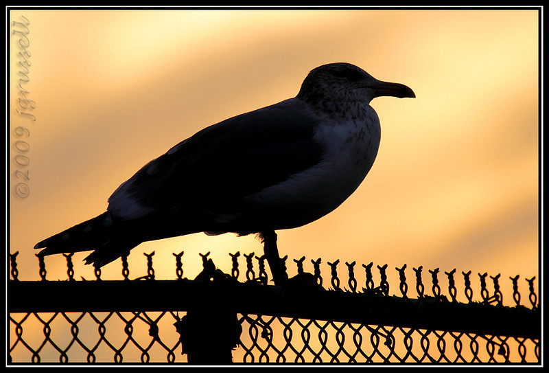 Gull at sunset<br /> Barnegat Light