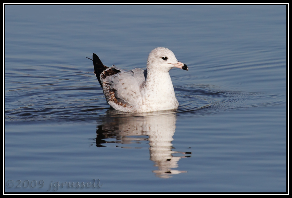 First winter ring-billed seagull