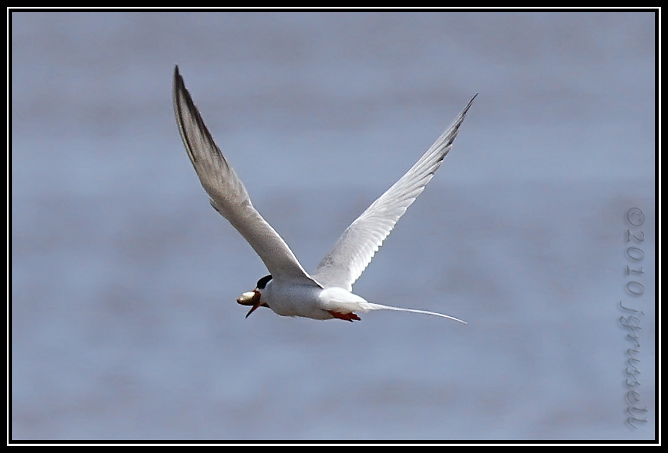 Forster's tern with lunch<br /> Forsythe NWR May 2010
