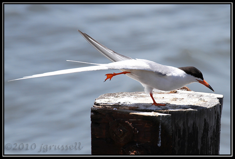 "Forster's tern<br /> (""You put your right leg out..."")<br /> Forsythe NWR May 2010"