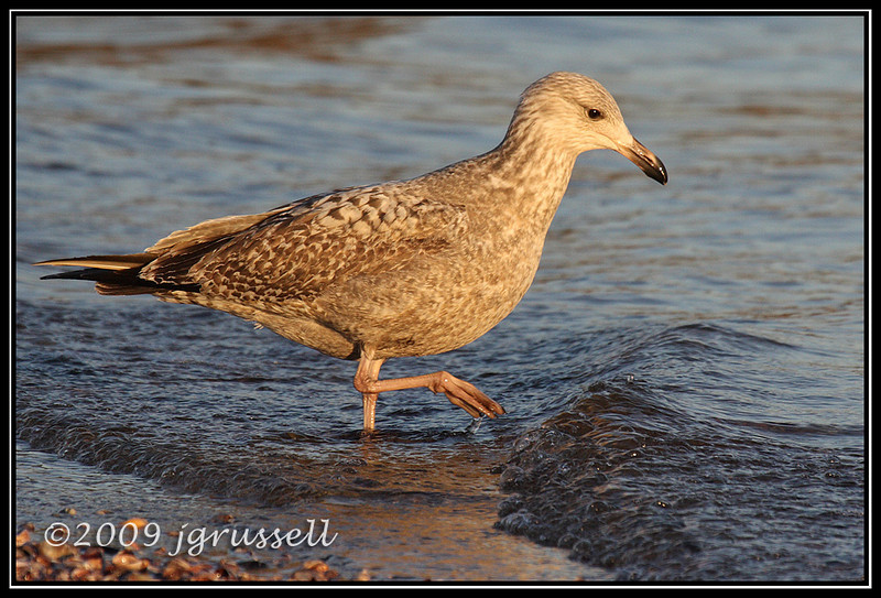 Herring gull (first winter)