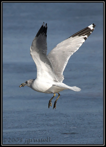 Ring-billed gull<br /> Mill Creek marsh