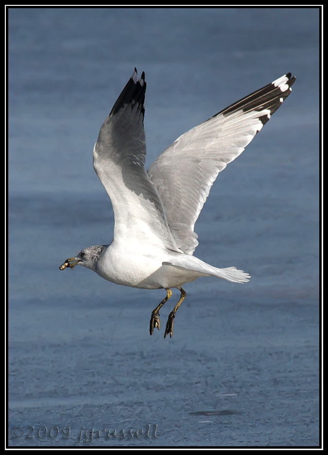 Ring-billed gull<br /> Mill Creek marsh