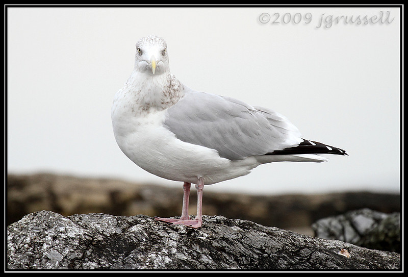 Gull<br /> Barnegat Light
