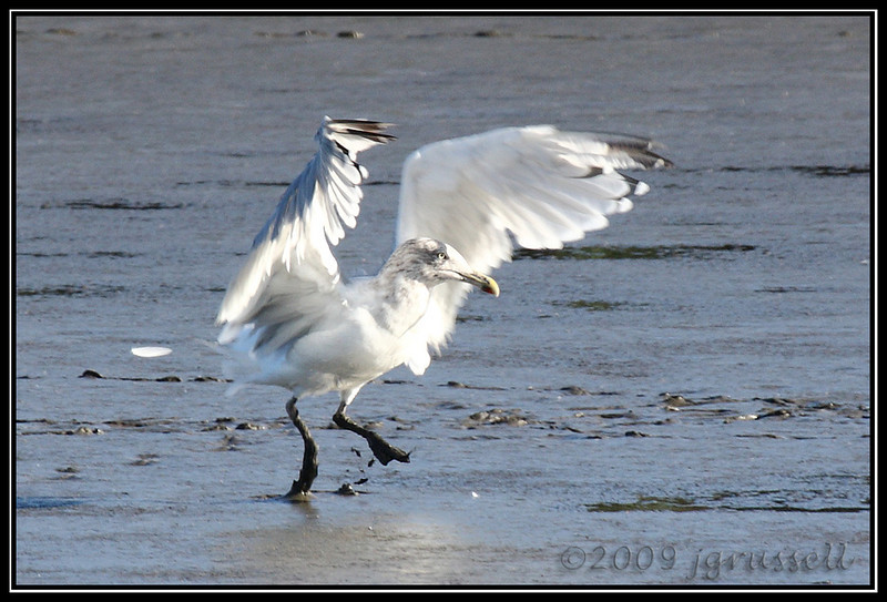 Gull landing on mudflat