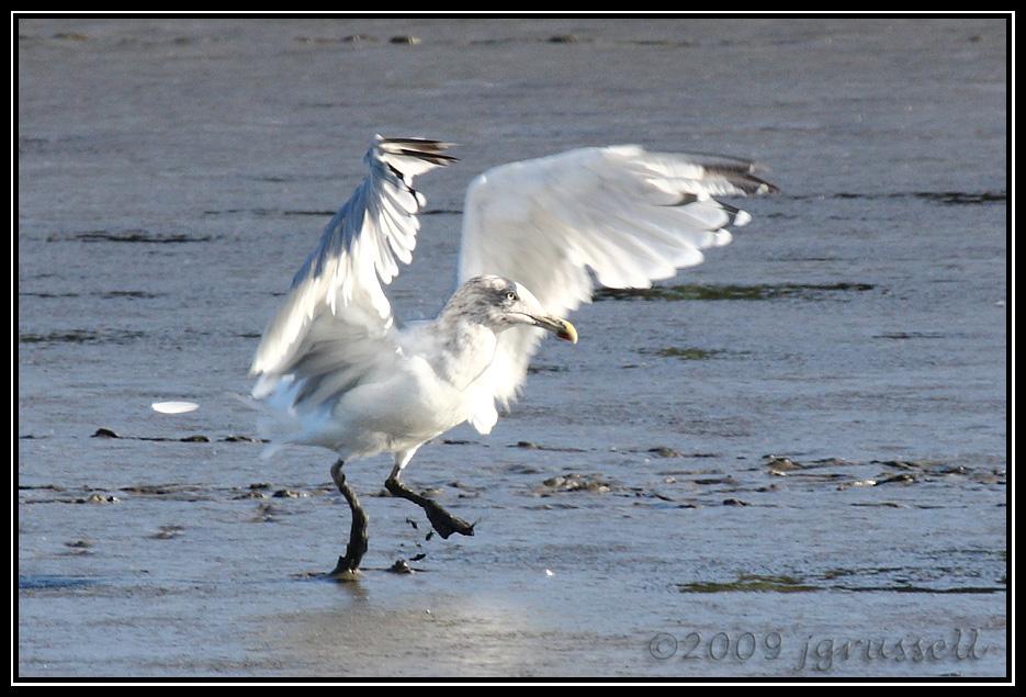 Gull landing on mudflat