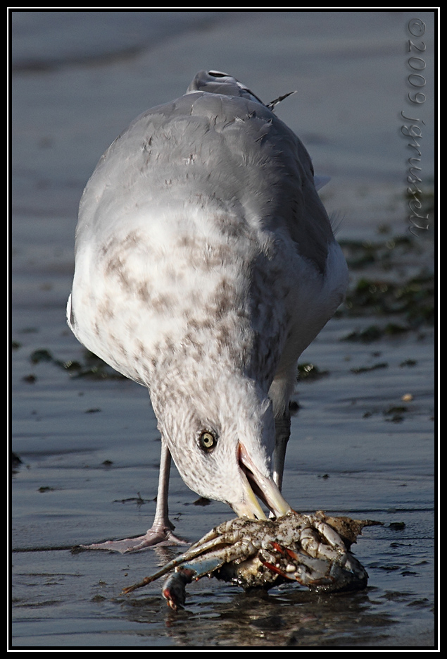 Herring gull with prey<br /> Sandy Hook