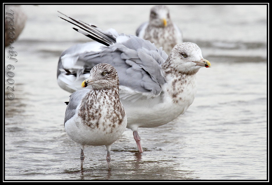 Gulls<br /> Barnegat Light
