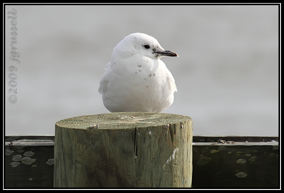 Immature ivory gull<br /> Cape May