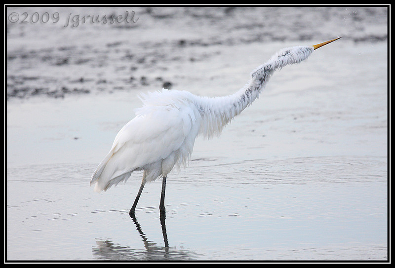"""Long """"haired"""" egret"""