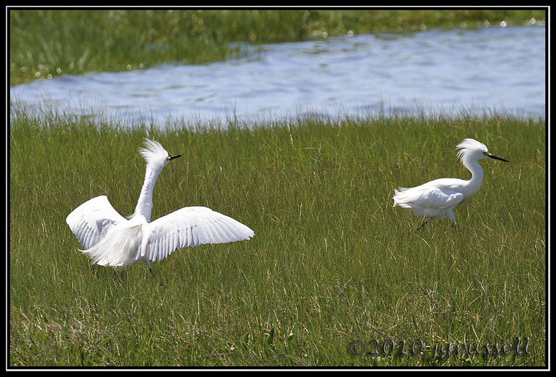 """This is MY territory!!""<br /> Forsythe NWR May 2010"