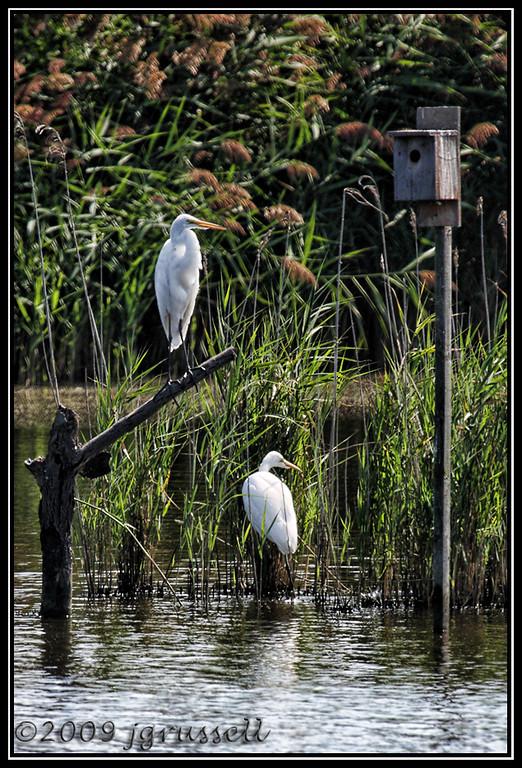 Egrets<br /> DeKorte Park<br /> NJ Meadowlands