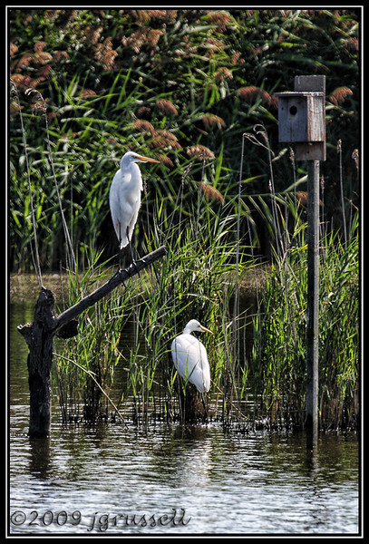 Egrets<br /> DeKorte Park<br /> NJ Meadowlands