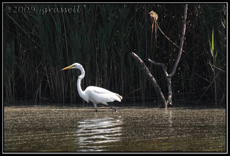 Egret<br /> DeKorte Park<br /> NJ Meadowlands