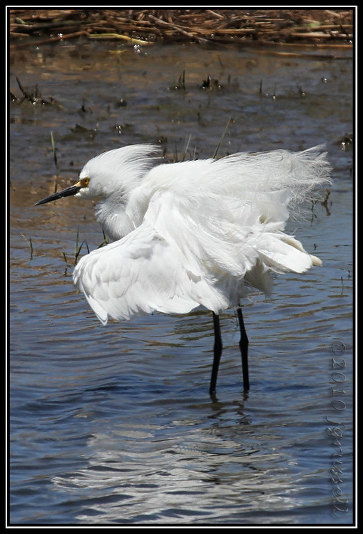 Snow egret on a bad hair day<br /> Forsythe NWR May 2010