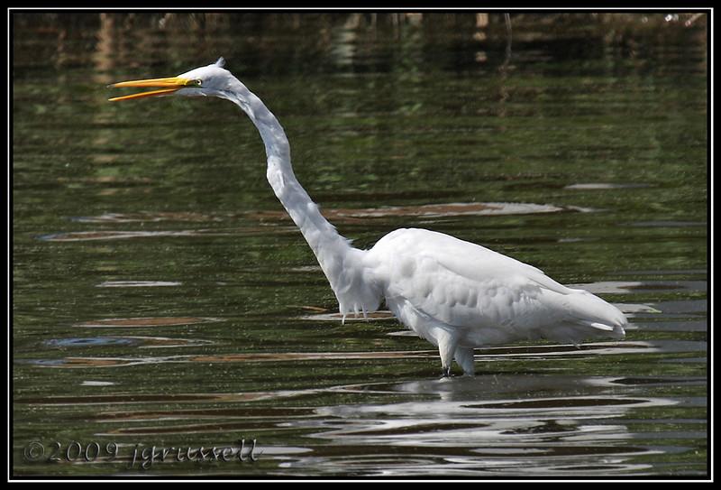 """Chatty"" egret<br /> DeKorte Park<br /> NJ Meadowlands"