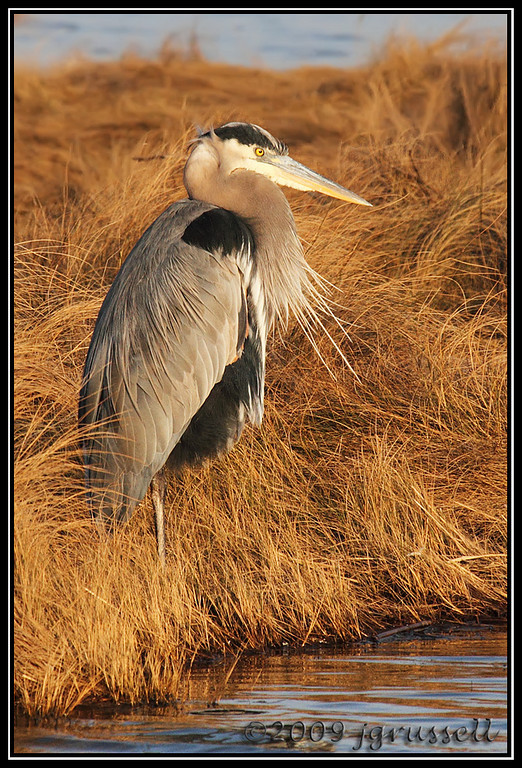 Great blue heron<br /> Forsythe NWR