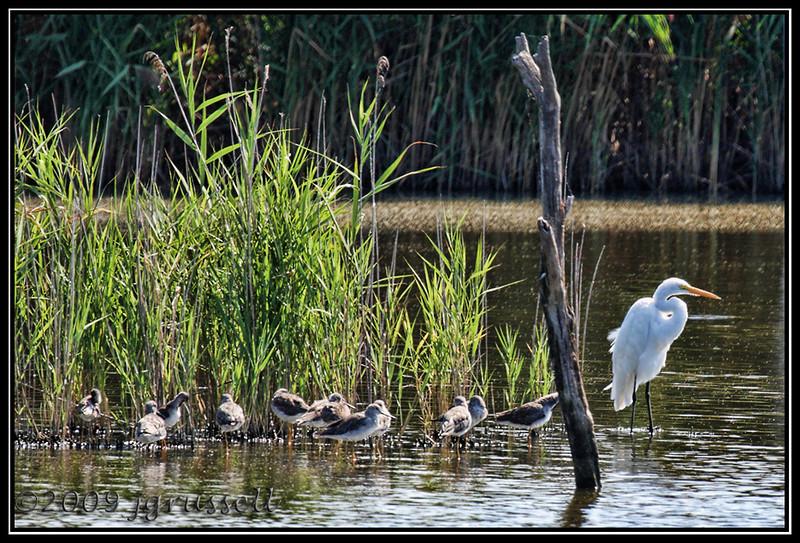 Yellowlegs and egret<br /> DeKorte Park<br /> NJ Meadowlands