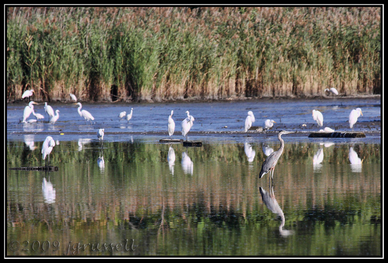 Heron and egrets