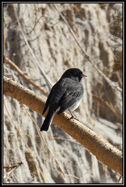 Dark eyed junco<br /> Sandy Hook
