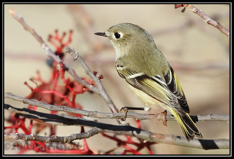 Male ruby-crowned kinglet
