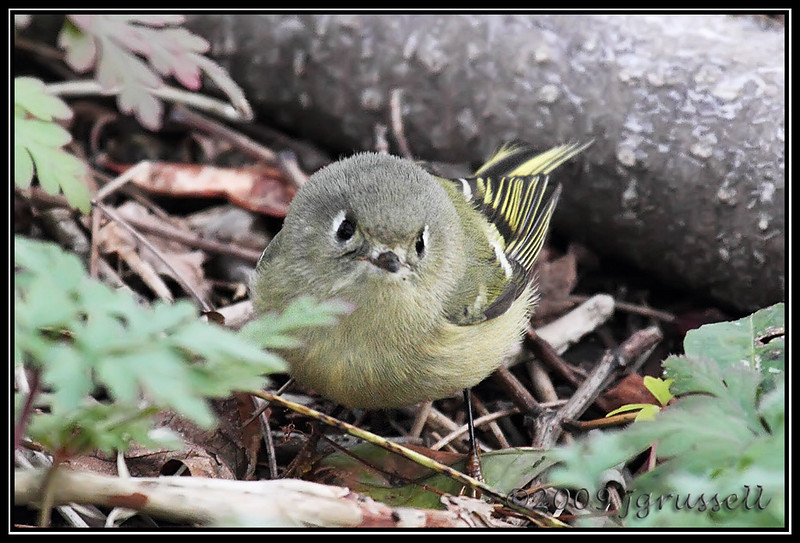 Female ruby-crowned kinglet
