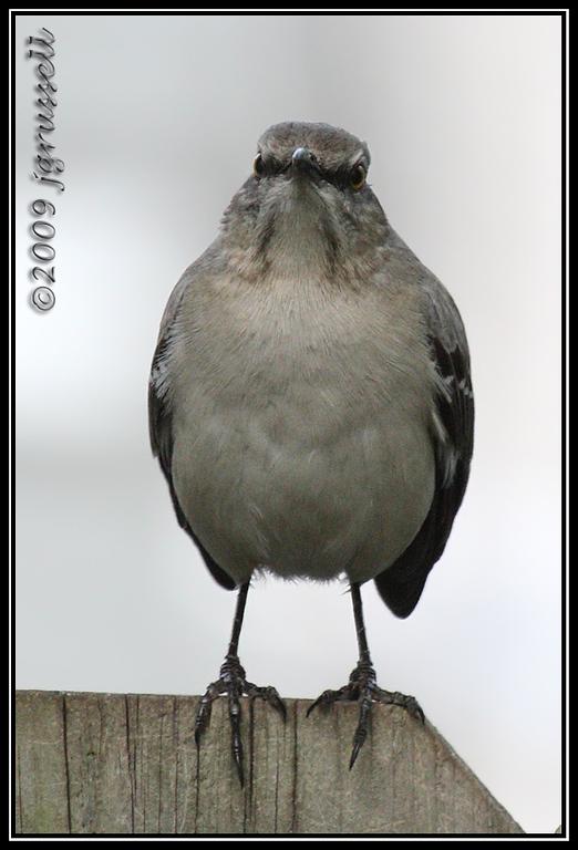 Mockingbird mug shot: face forward