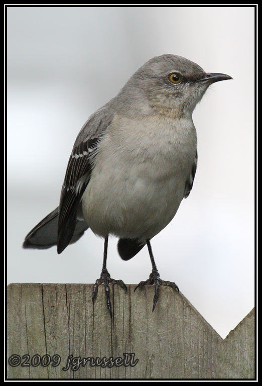 Mockingbird mug shot: face left
