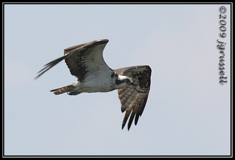 Osprey in flight<br /> Sandy Hook, NJ