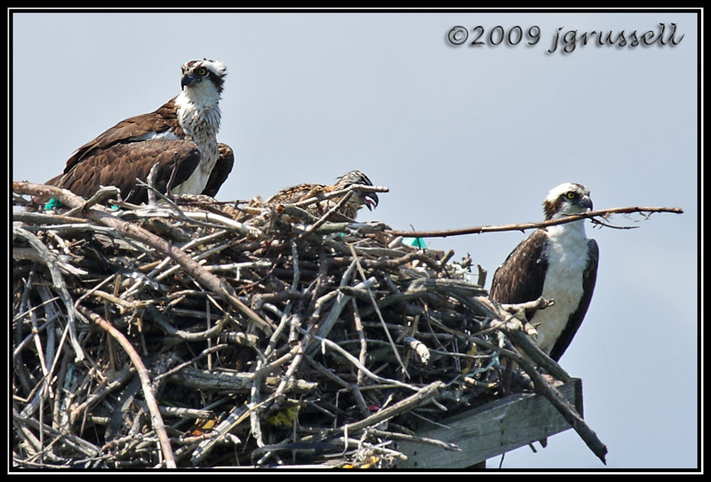 Osprey with chicks in nest<br /> Sandy Hook, NJ