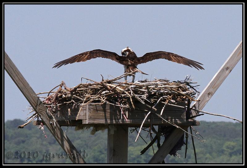 Osprey wingspan<br /> Forsythe NWR May 2010