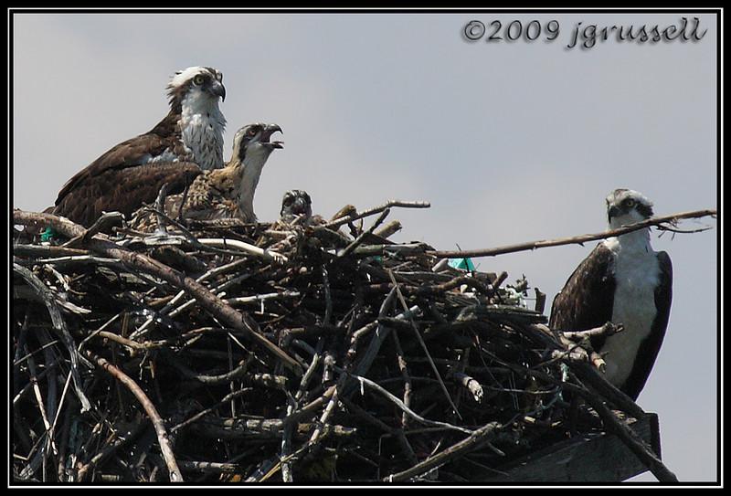 Osprey with chicks in nest<br /> Sandy Hook, NJ
