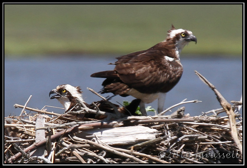 Ospreys<br /> Forsythe NWR May 2010