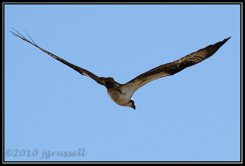 Osprey in flight<br /> Forsythe NWR May 2010