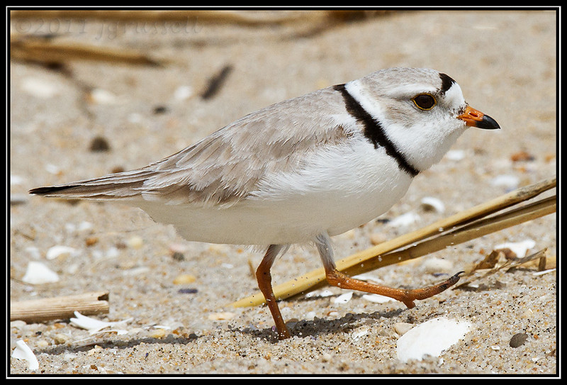 Piping plover<br /> Sandy Hook, NJ
