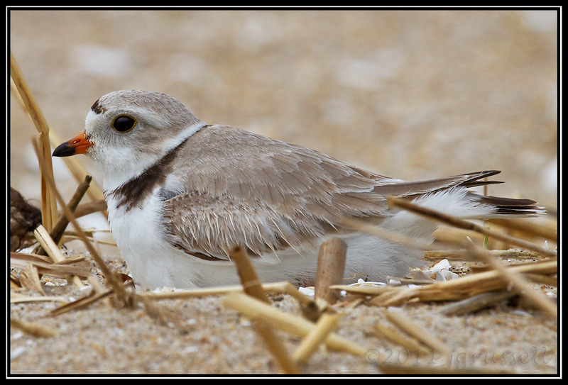 Piping plover<br /> Sandy Hook, NJ