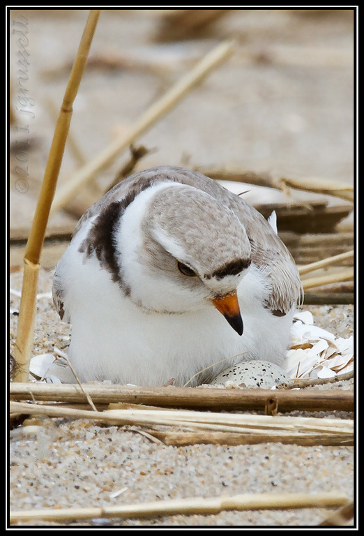 Piping plover on nest<br /> Sandy Hook, NJ