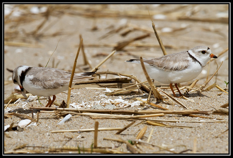 Piping plovers with nest<br /> Sandy Hook, NJ