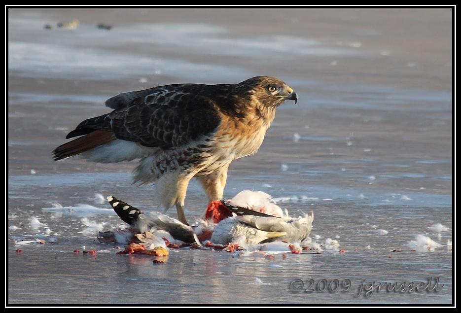 IMAGE: http://photos.jgrussell.com/Birds/New-Jersey-birds/Raptors/IMG6950dpp/530890784_yfw3V-O.jpg
