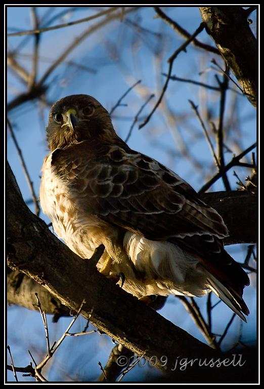 Red Tail Hawk<br /> Branchbrook Park, Newark