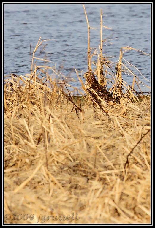 Camouflage!<br /> Northern harrier