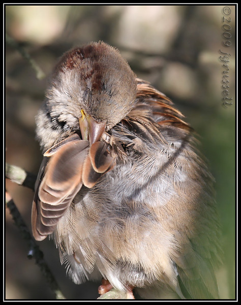 Young house sparrow preening