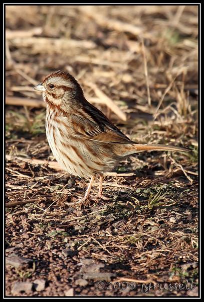 Song sparrow<br /> DeKorte Park
