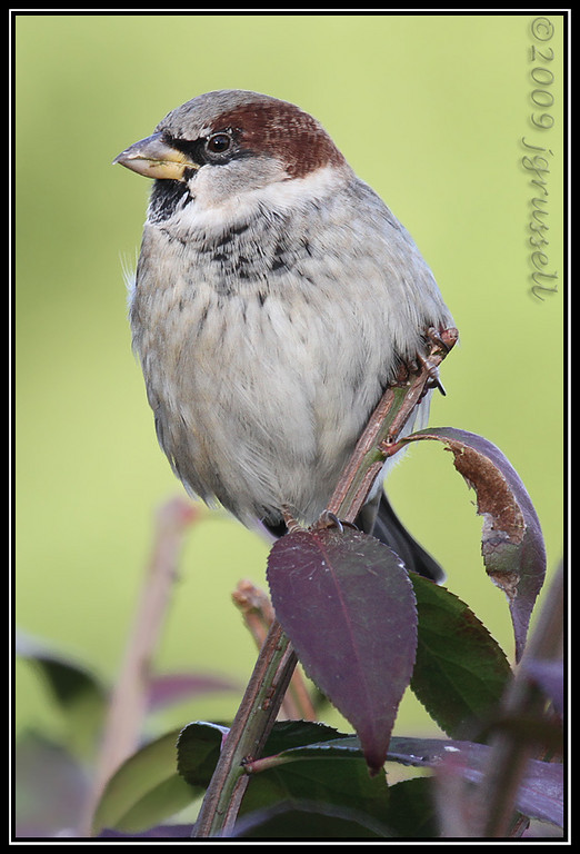 House sparrow<br /> Roosevelt Park