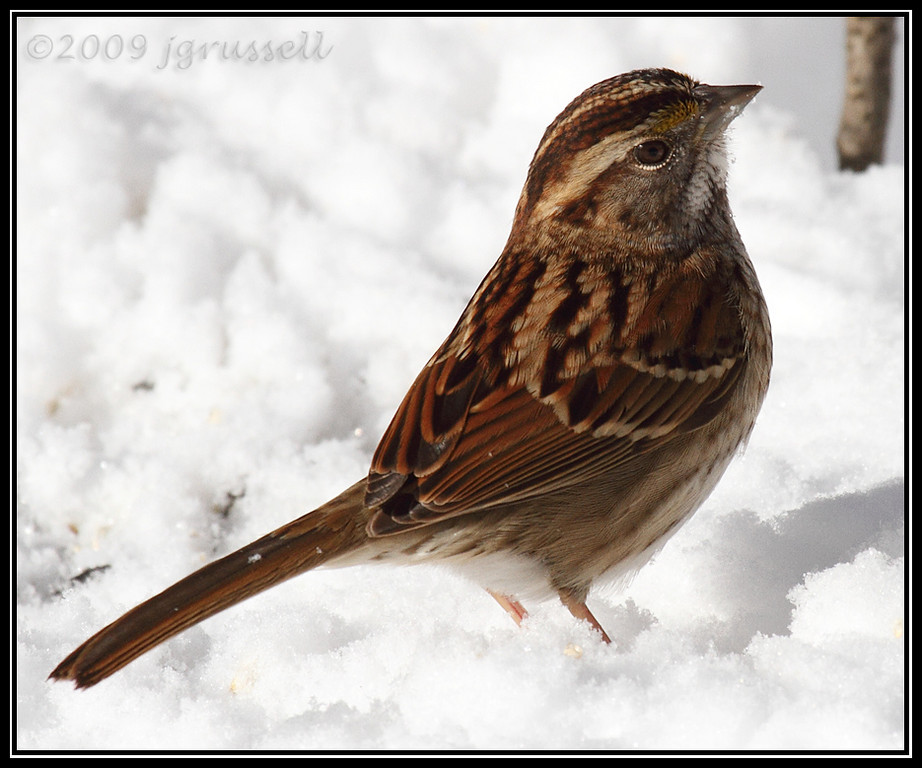 White throat in the snow