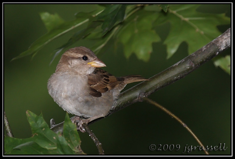 House sparrow<br /> (Better Beamer)