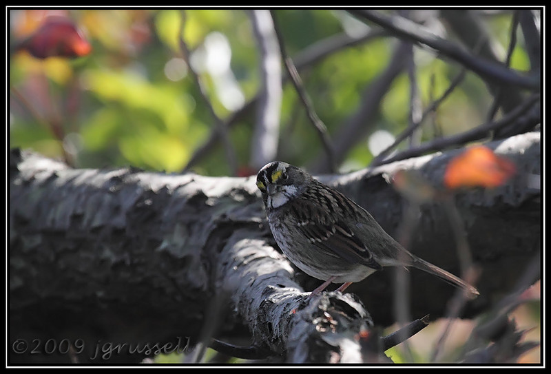White throated sparrow<br /> Sandy Hook