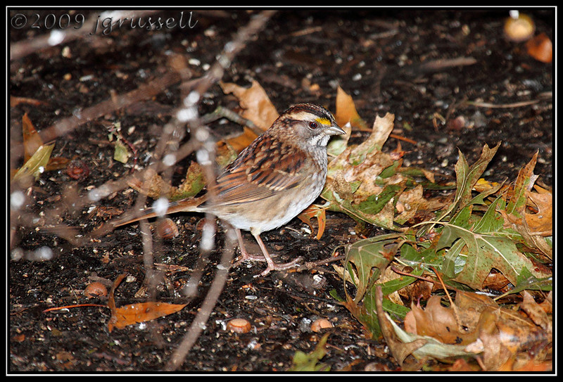 2009 first of season white throated sparrow